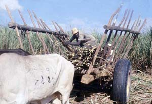 Stacking the sugarcane after it's been cut.